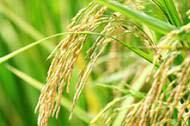水稲栽培の水管理